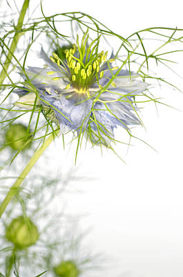 Love In The Mist Flower (nigella Sp.) Poster by Lawrence Lawry