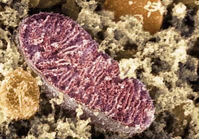 Mitochondrion, Sem Poster by Dr David Furness, Keele University