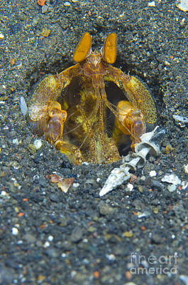 Orange Mantis Shrimp In Its Burrow Poster