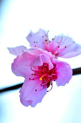 Poster featuring the photograph Peach Blossom by Puzzles Shum