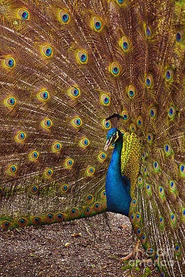 Peacock Poster by Carlos Caetano
