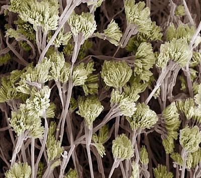 Penicillium Fungus, Sem Poster