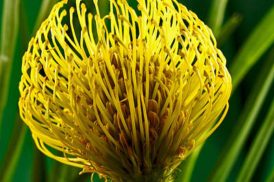 Picture Of A Pincushion Protea Poster by Perla Copernik
