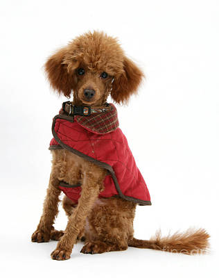 Red Toy Poodle Poster by Mark Taylor
