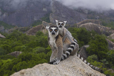 Ring-tailed Lemur Lemur Catta Mother Poster by Pete Oxford