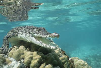 Saltwater Crocodile Crocodylus Porosus Poster