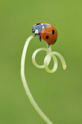 Seven Spot Ladybird On Tendril Poster by Martin Ruegner