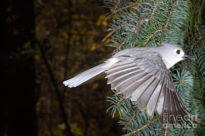 Tufted Titmouse In Flight Poster by Ted Kinsman