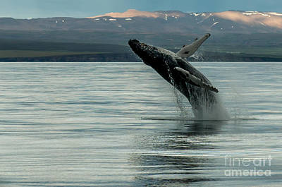 Whale Jumping Poster