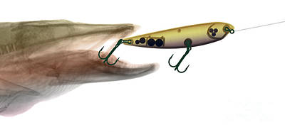 Xray Of Muskie And Lure Poster by Ted Kinsman