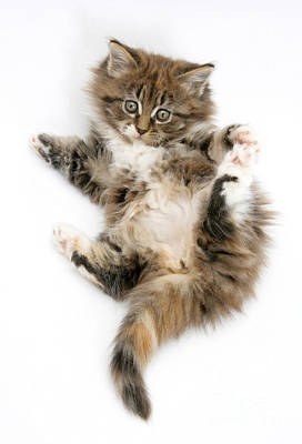 Maine Coon Kitten Poster by Mark Taylor