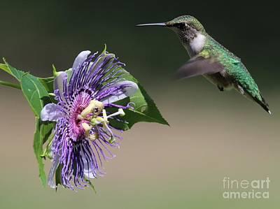 Ruby-throated Hummingbird Poster by Jack R Brock
