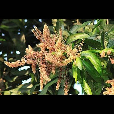 أزهار شجرة المانجو، Poster