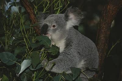 A Koala Clings To A Eucalyptus Tree Poster