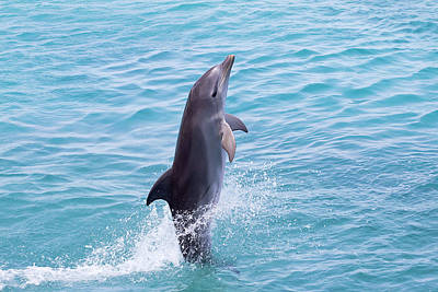 Atlantic Bottlenose Dolphin Poster by Dave Fleetham