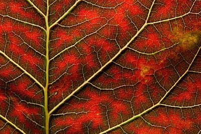 Backlit Close Up Of A Smoke Tree Leaf Poster