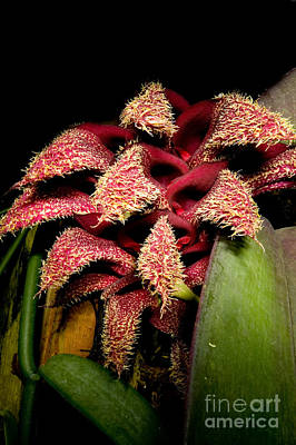 Bulbophyllum Orchid Poster