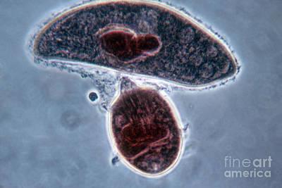 Didinium Nasutum, Ingesting  Paramecium Poster by Eric V. Grave