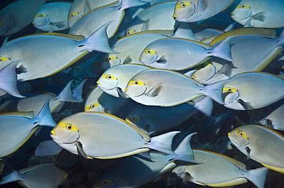 Elongate Surgeonfish Poster