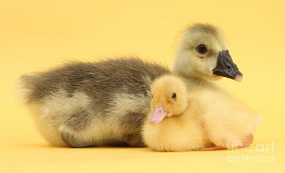 Embden X Greylag Gosling And Mallard Poster by Mark Taylor