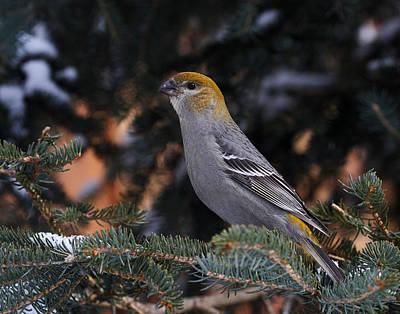 Female Pine Grosbeak Poster