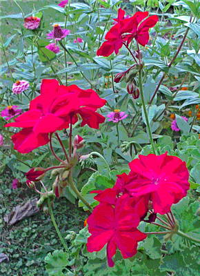 3 Geranium Flowers And Zinnia Poster by Padre Art