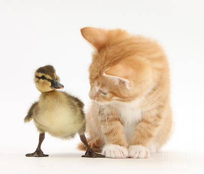 Ginger Kitten And Mallard Duckling Poster by Mark Taylor