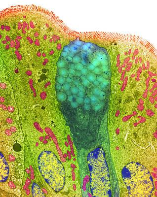 Goblet Cells Poster