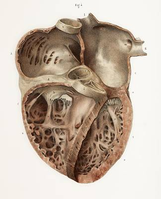 Heart Anatomy, 19th Century Illustration Poster