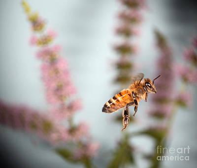 Honey Bee In Flight Poster