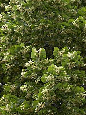 Lime (tilia Cordata) Poster by Adrian Bicker