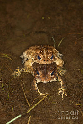 Mating Toads Poster