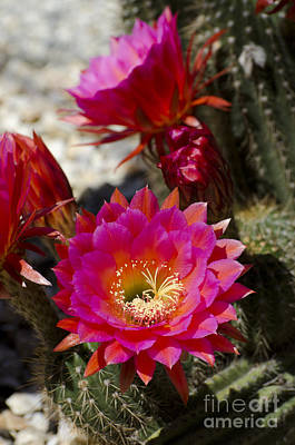 Pink Cactus Flowers Poster by Jim and Emily Bush