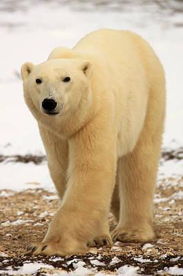 Polar Bear, Churchill, Manitoba Poster by Robert Postma