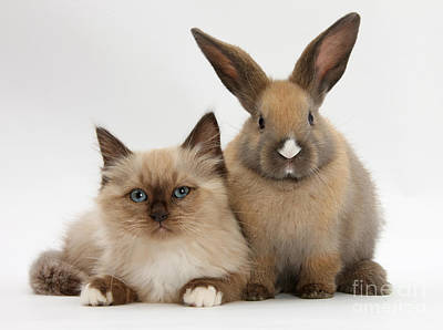 Ragdoll-cross Kitten And Young Rabbit Poster by Mark Taylor