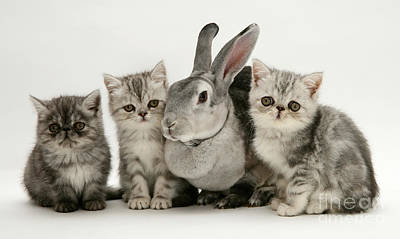 Silver Exotic Kittens And Silver Rex Poster by Jane Burton