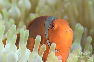 Spinecheek Anemonefish In Anemone Poster by Steve Jones