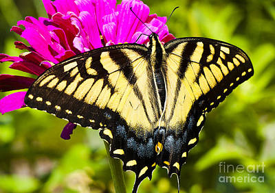 Tiger Swallowtail On Zinnia Poster