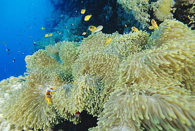 Twoband Anemonefish Poster by Alexis Rosenfeld