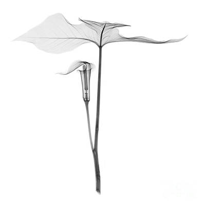 X-ray Of Jack-in-the-pulpit Poster
