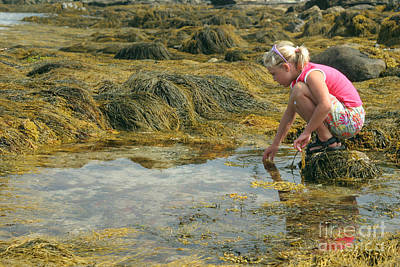 Young Girl Exploring A Maine Tidepool Poster by Ted Kinsman