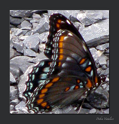 Butterfly Collection Poster by Debra     Vatalaro