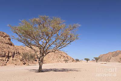 Acacia Tree Poster by Roberto Morgenthaler