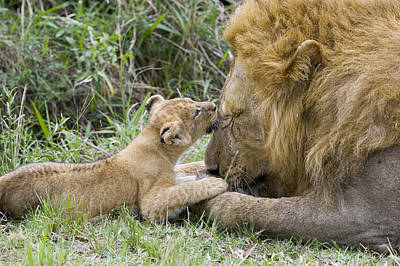 African Lion Cub Playing With Adult Poster