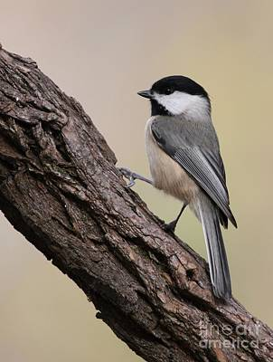 Poster featuring the photograph Black-capped Chickadee by Jack R Brock