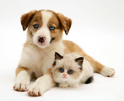 Border Collie And Birman-cross Kitten Poster