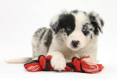 Border Collie Pup Poster