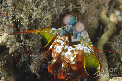Close-up View Of A Mantis Shrimp, Papua Poster