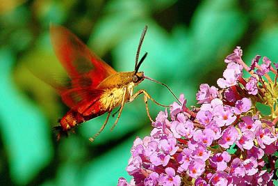 Georgian Moth  Poster