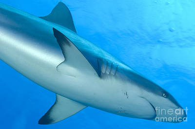 Gray Reef Shark. Papua New Guinea Poster by Steve Jones